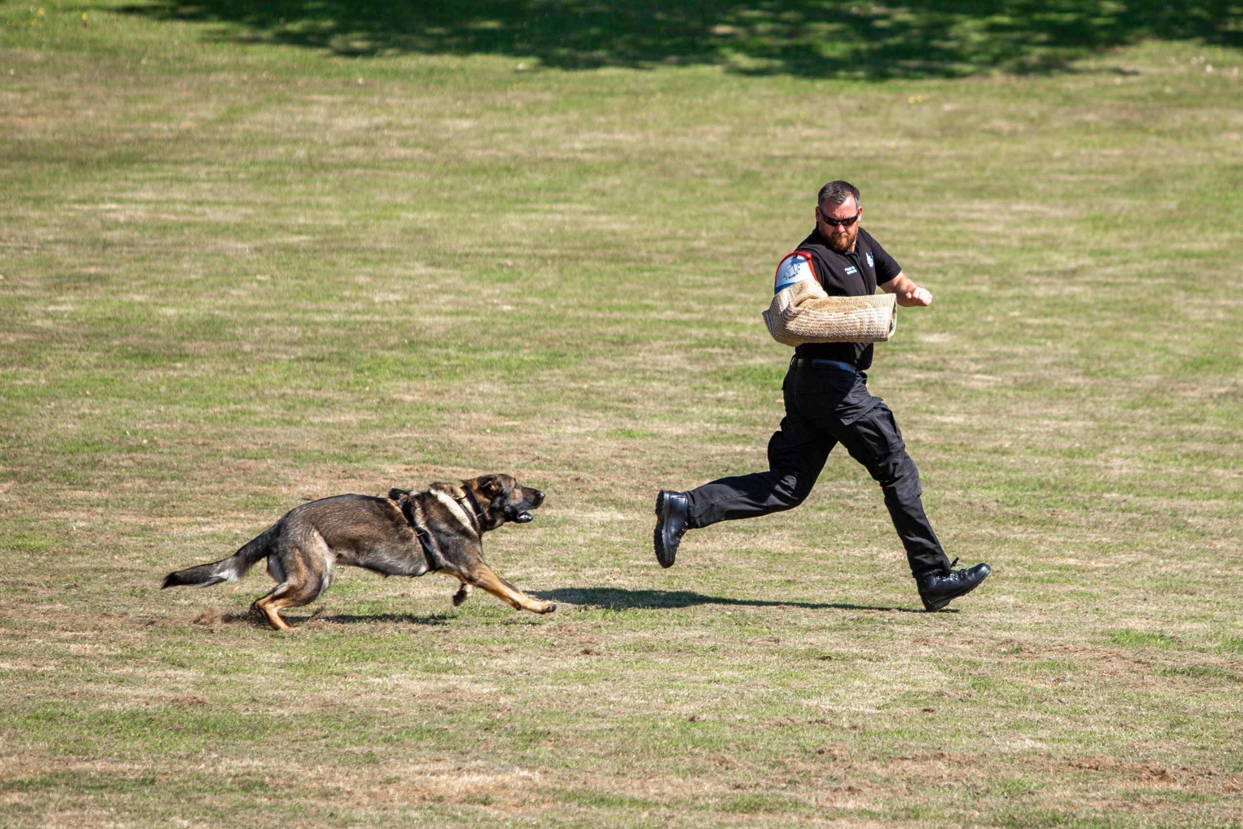 Surrey Police Dog Training School dog running