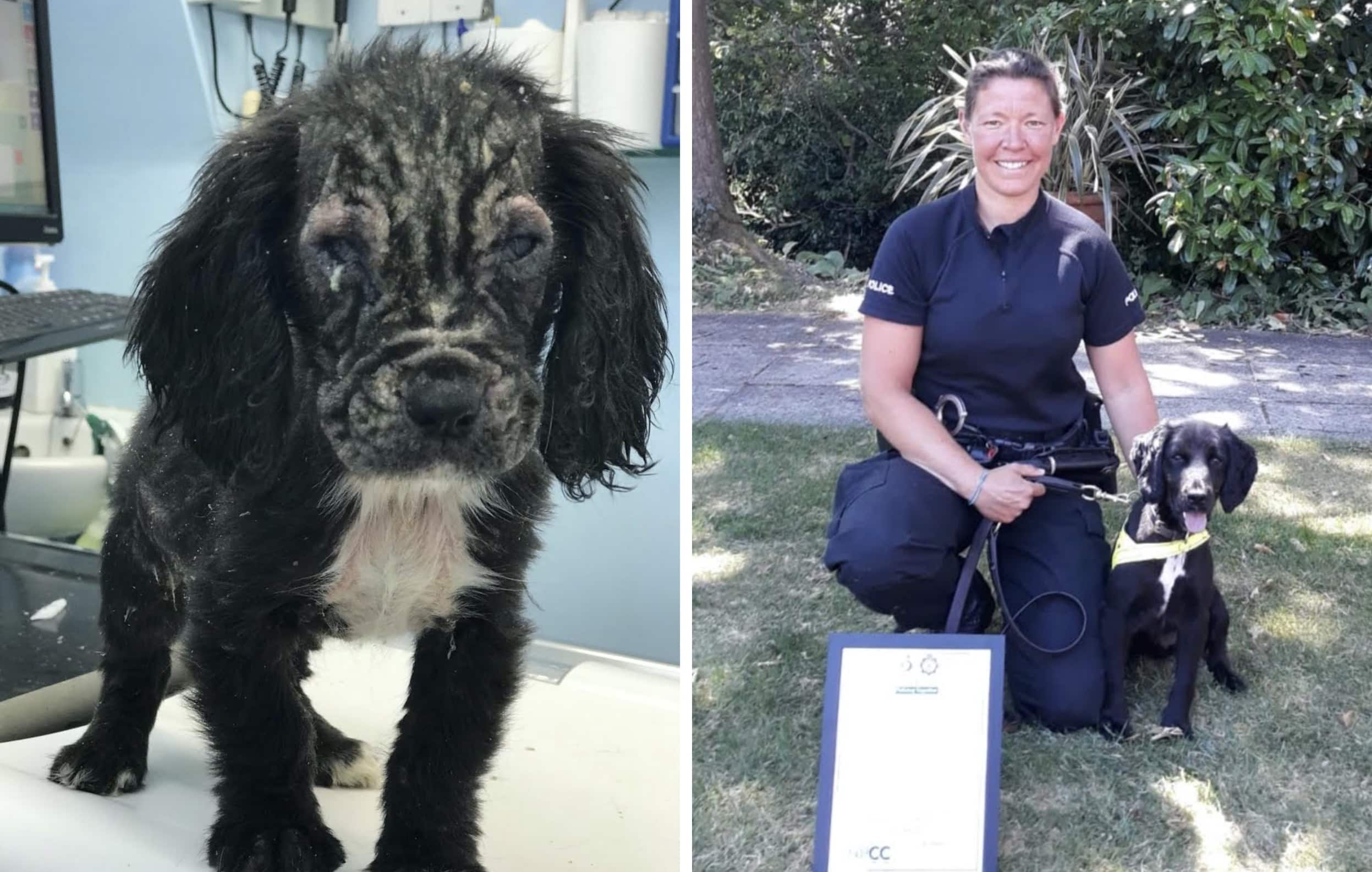 Badger as he arrived at the RSPCA (left) and passing as a Police Dog with his handler PC Stephanie Barrett (right)